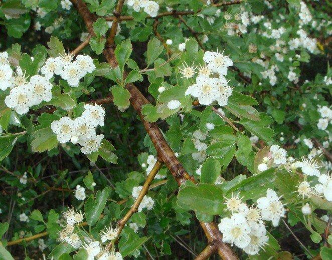 Meidoornhaag (Crataegus monogyna) bloemen