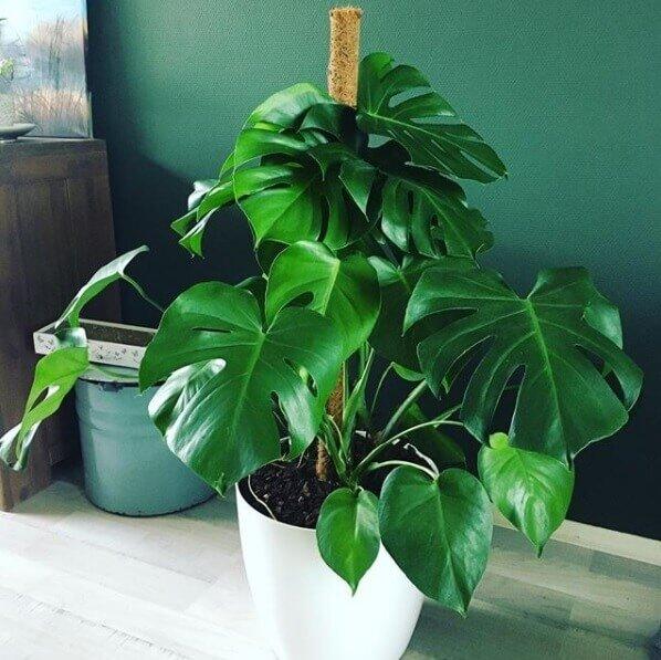 Philodendron monstera pertusem (gatenplant op stok)