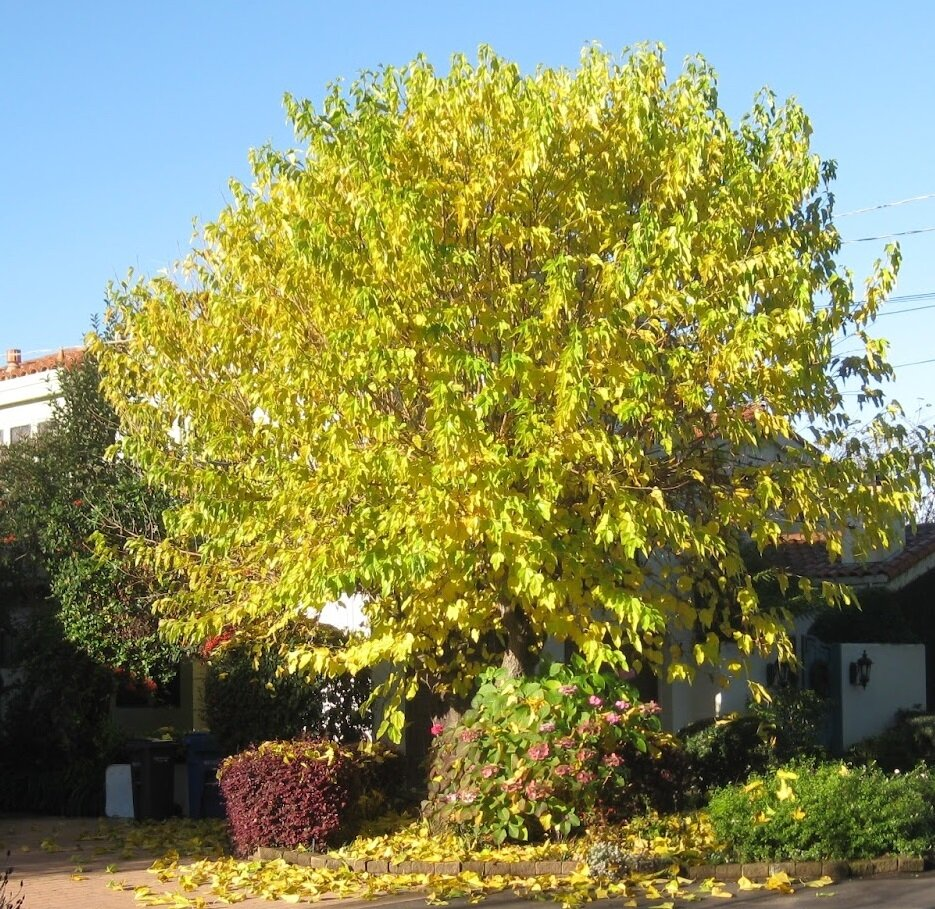 Morus alba 'Fruitless' herfstkleur