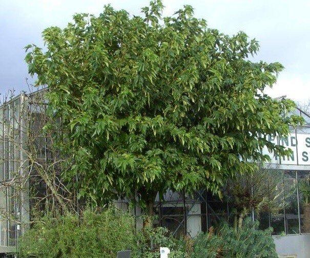 Morus alba 'Fruitless'