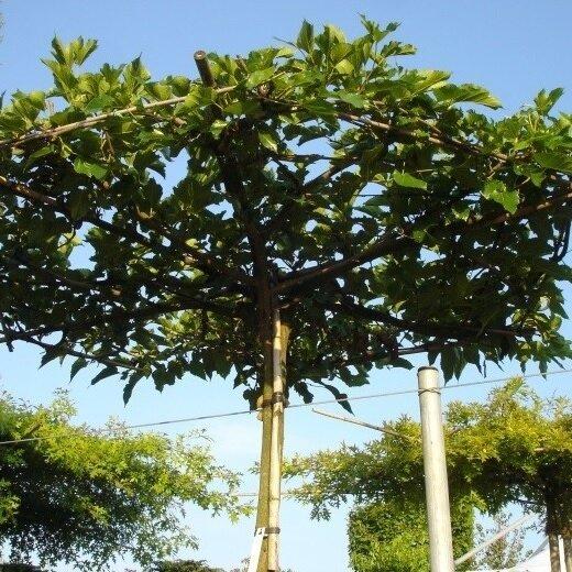 morus alba 39 macrophylla 39 parasol dakbomen bomen. Black Bedroom Furniture Sets. Home Design Ideas