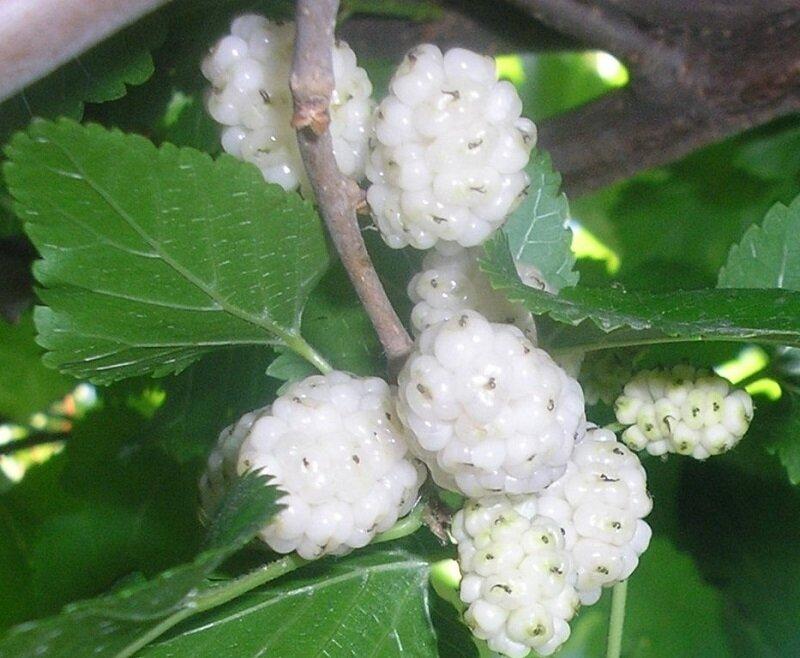 Morus alba vruchten
