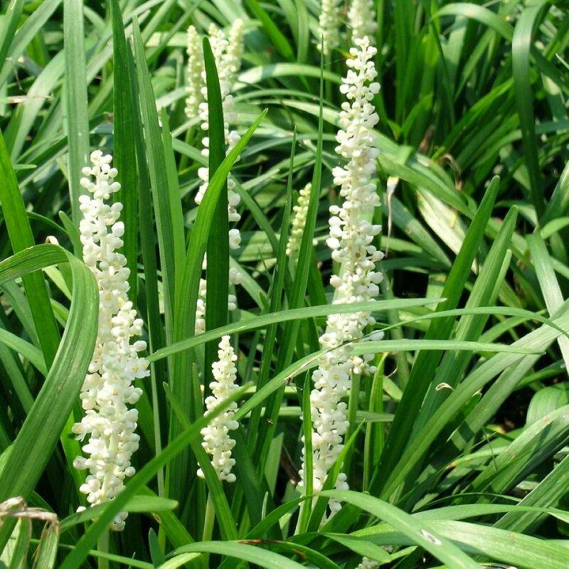 Liriope muscari 'Monroe White' bodembedekker