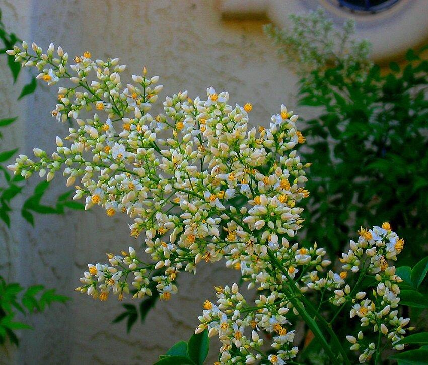 Nandina domestica bloemen