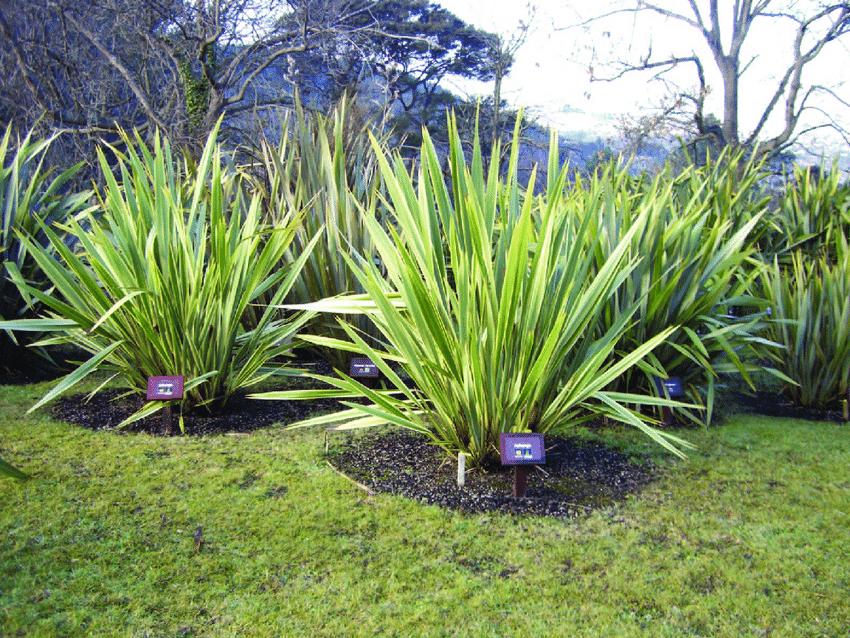 Nieuw Zeelands vlas groen