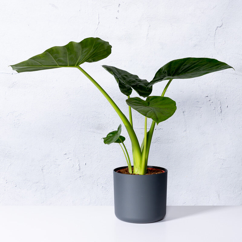 Alocasia 'Macrorrhiza' in pot