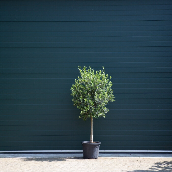 Olijfboom oud 10-15 cm
