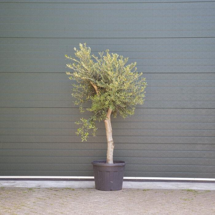 Olijfboom oud 20-30 cm