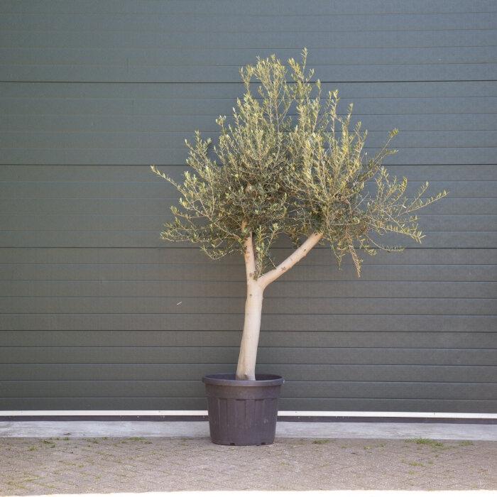 Olijfboom oud 30-40 cm