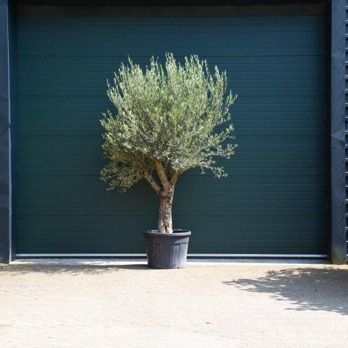Olijfboom oud 40-60 cm