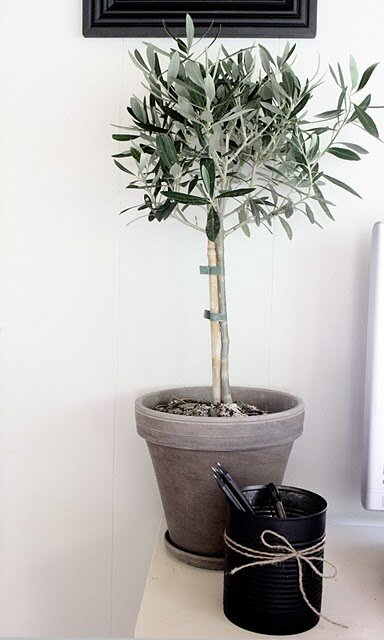 Olijfboom op stam (Olea europaea)