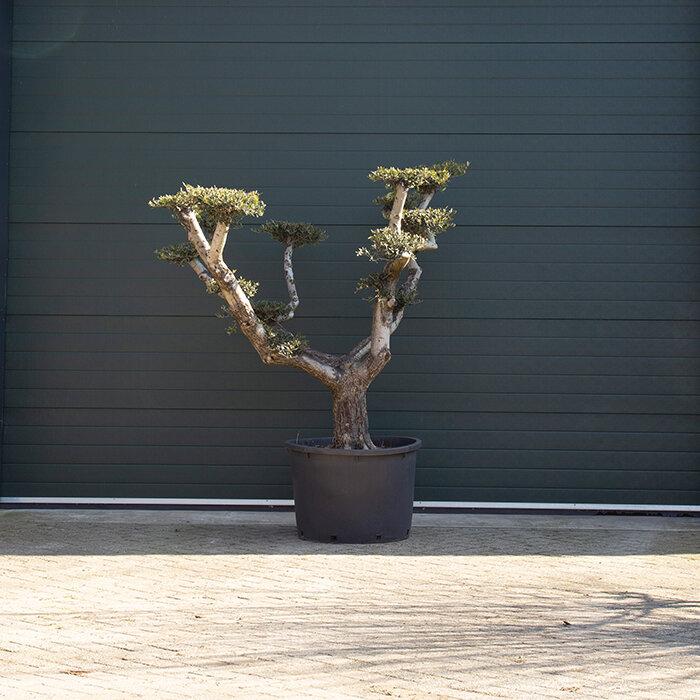 Olijfboom XXL 'Pom pom' totaalhoogte 140-160 cm