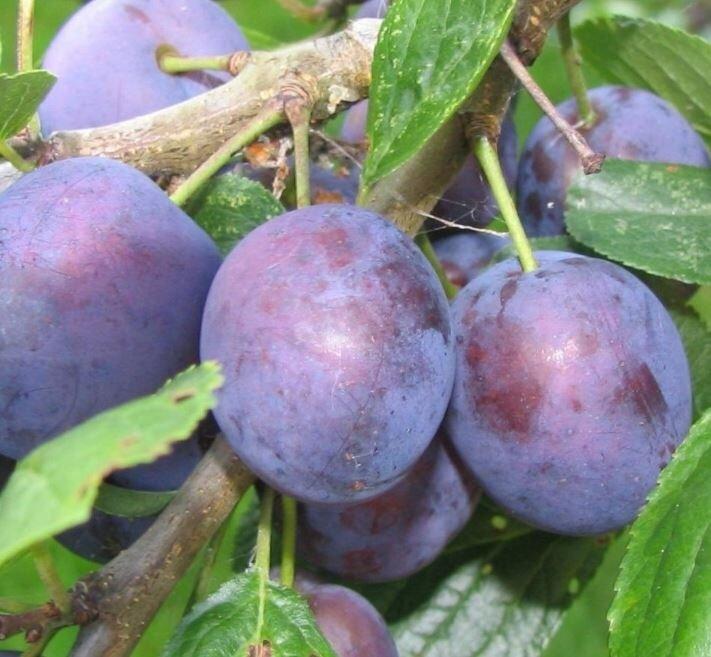 Prunus domestica 'Opal' (leivorm)