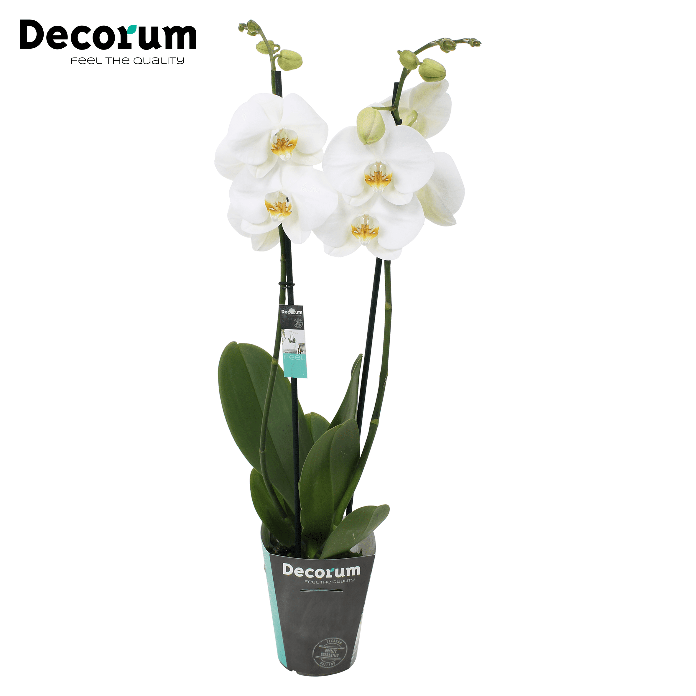 Orchidee 'Dame Blanche' (Phalaenopsis Midiflora)