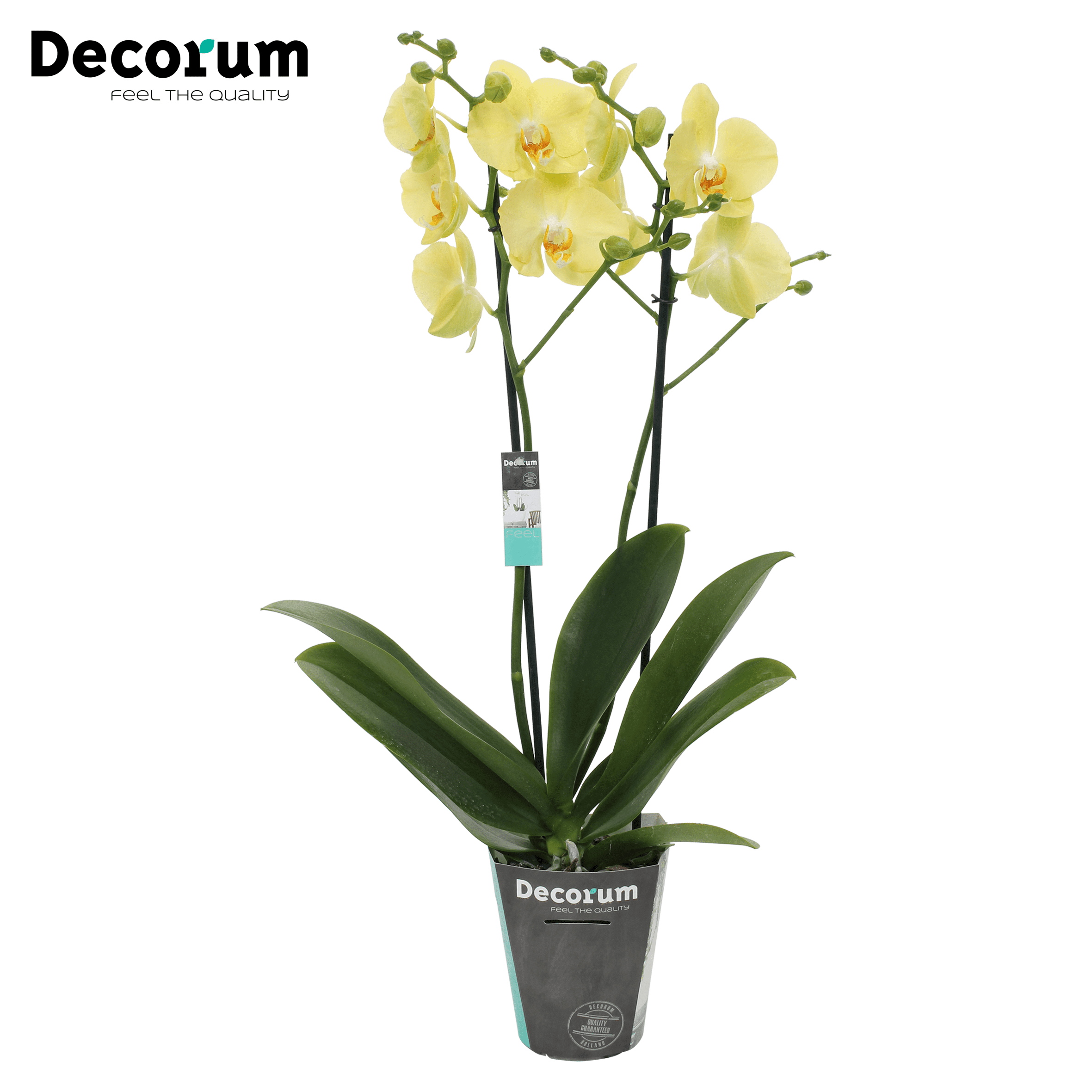 Orchidee 'Ferrara' (Phalaenopsis Midiflora)