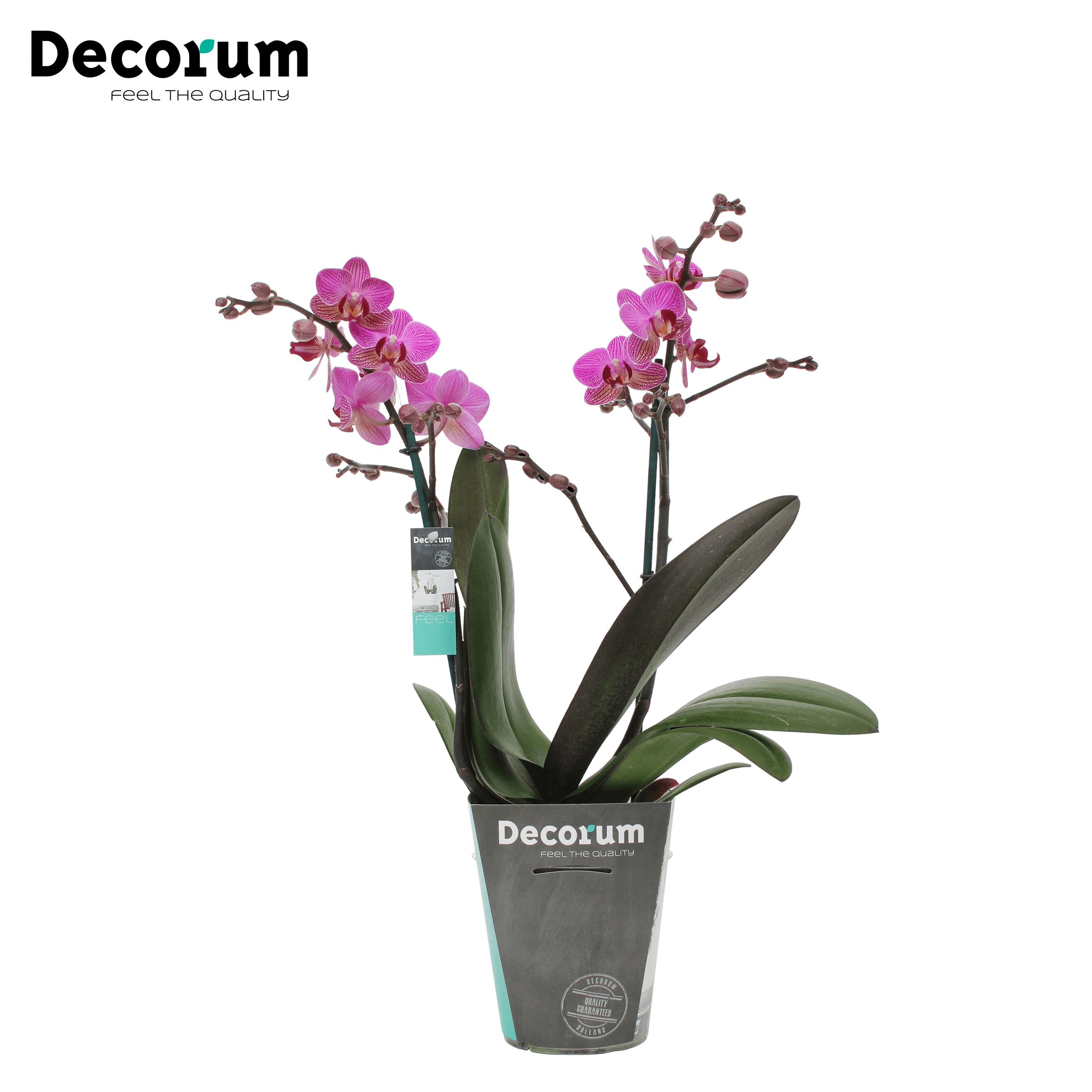 Orchidee 'Perceval' (Phalaenopsis Multiflora)