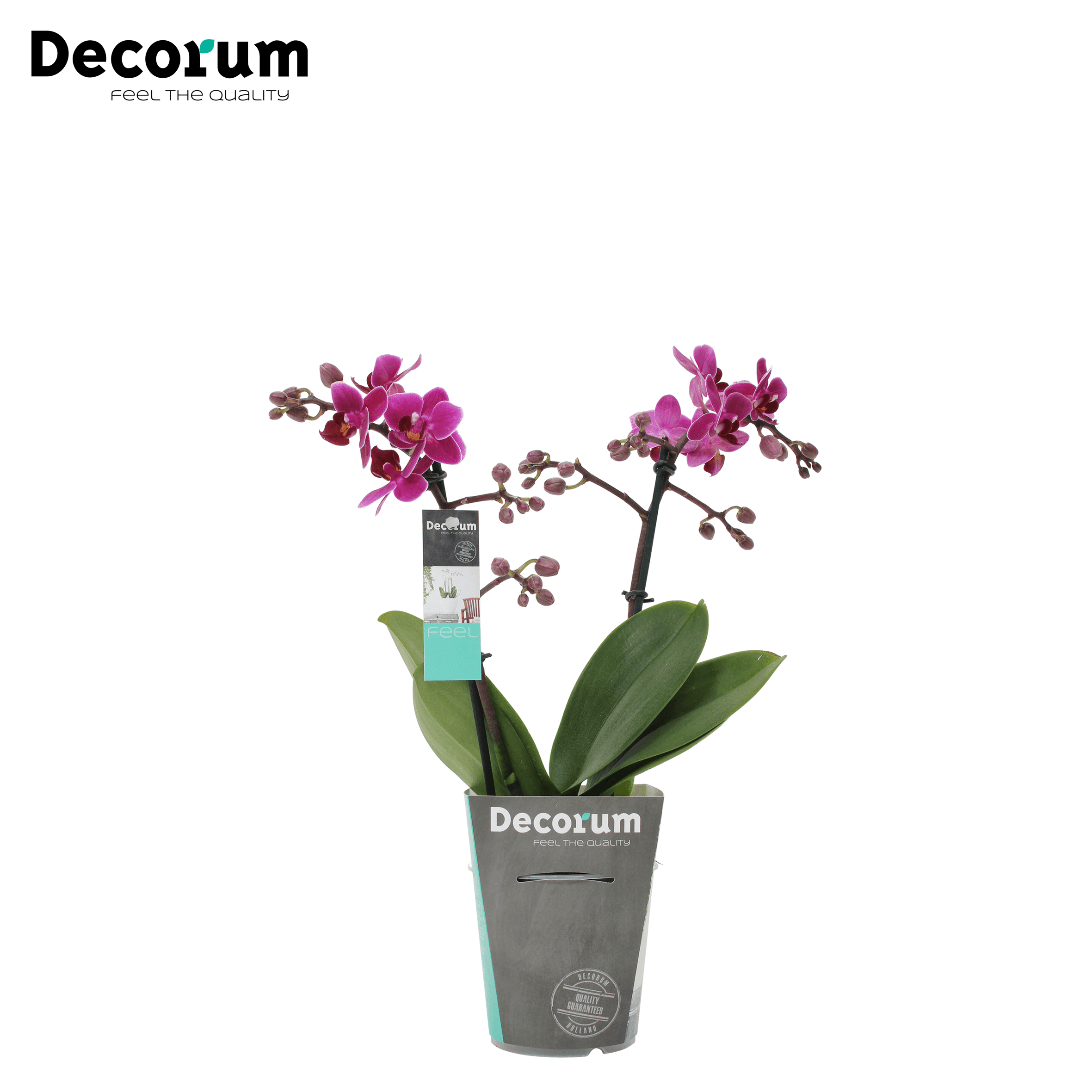 Orchidee 'Purple Princess Mini' (Phalaenopsis Multiflora)