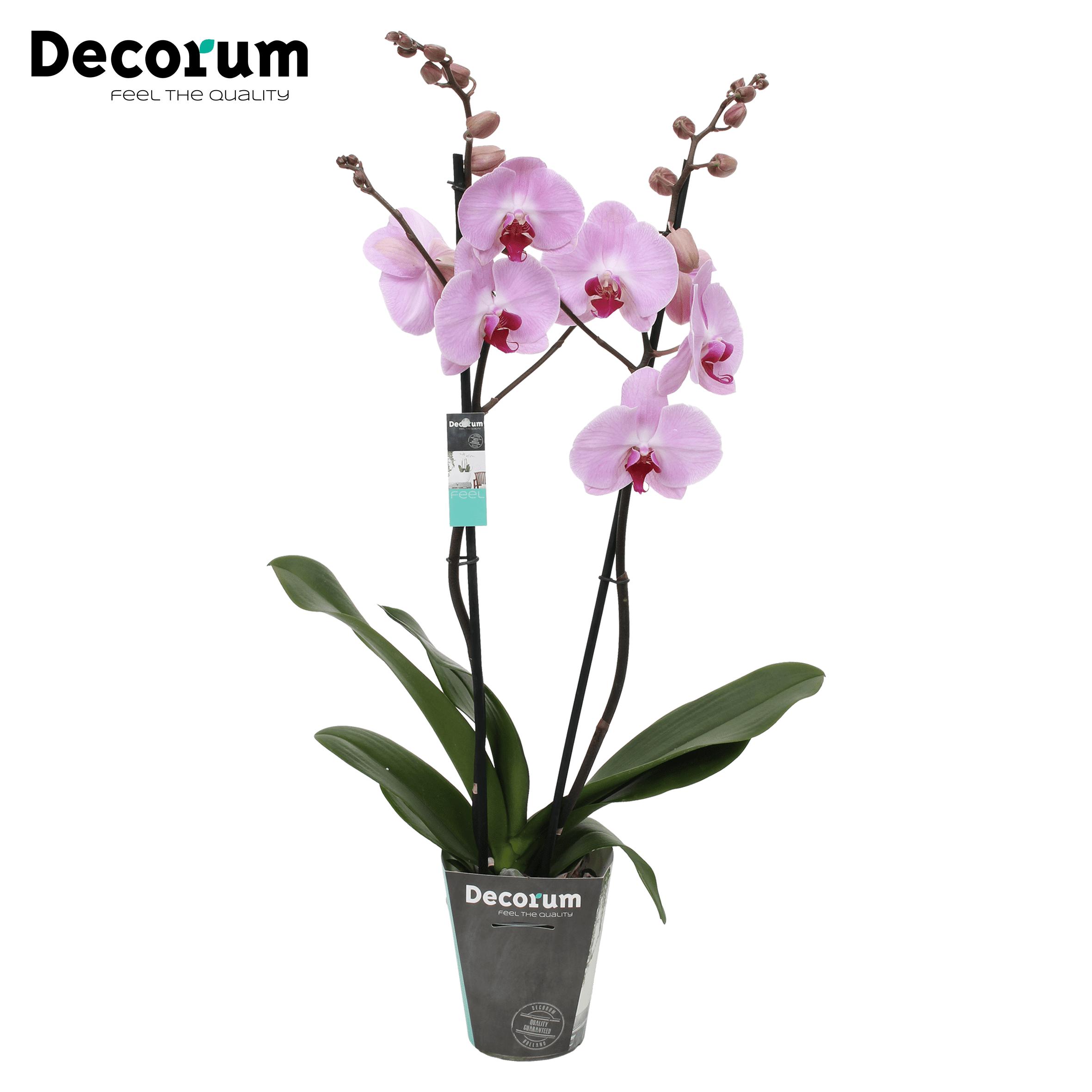 Orchidee 'Sacramento' (Phalaenopsis Midi-flora)