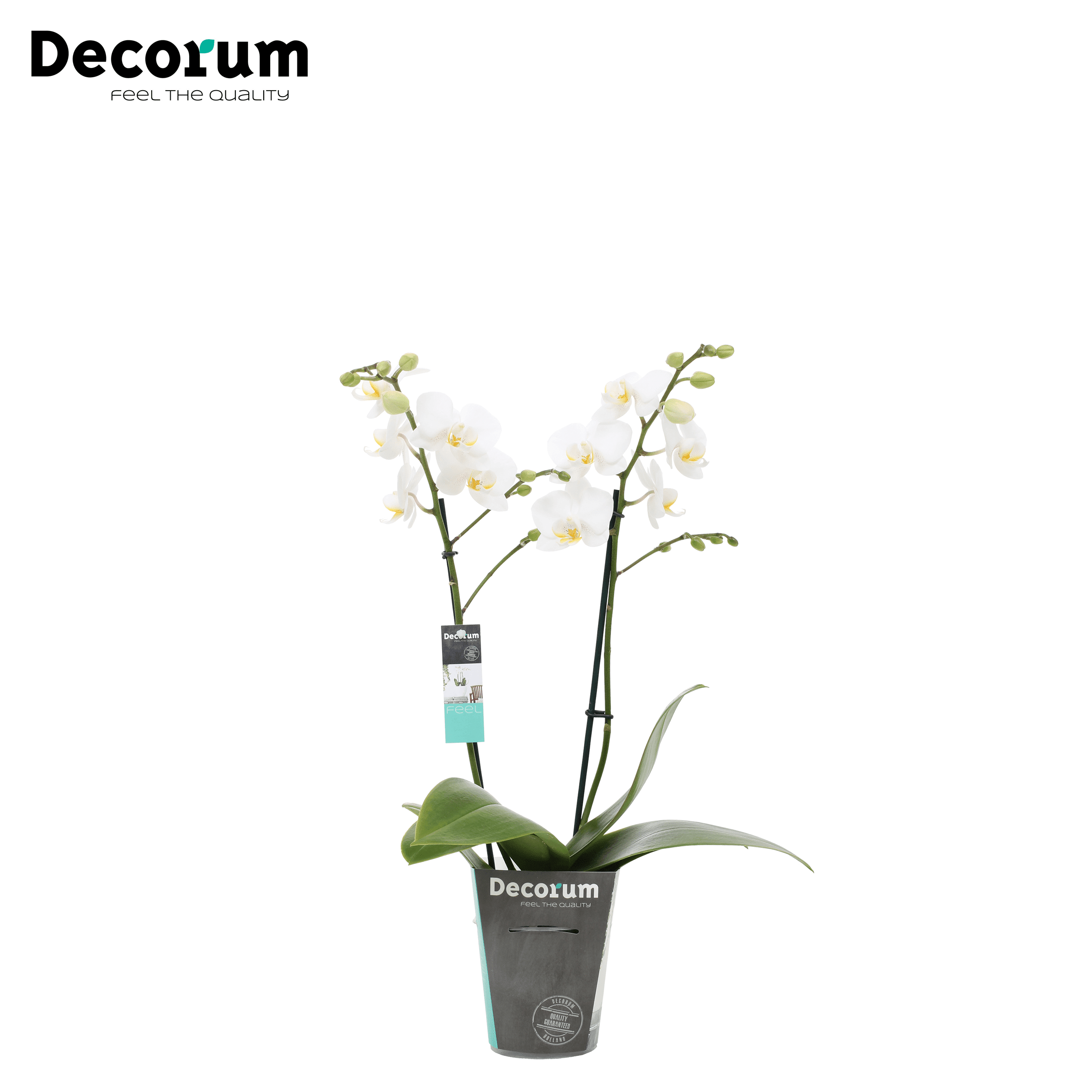 Orchidee 'Starlett Mini' (Phalaenopsis Multiflora Mini)
