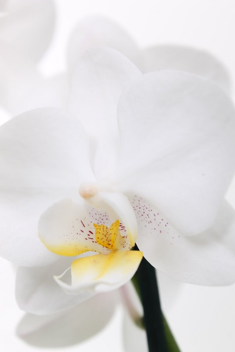 Orchidee 'Starlett Mini' (Phalaenopsis Multiflora) bloem