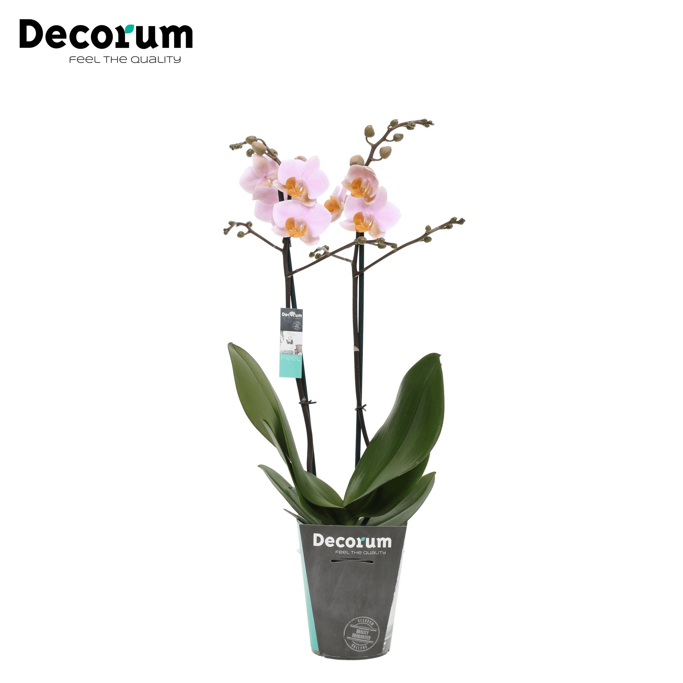 Orchidee 'Tulcan' (Phalaenopsis Multiflora)