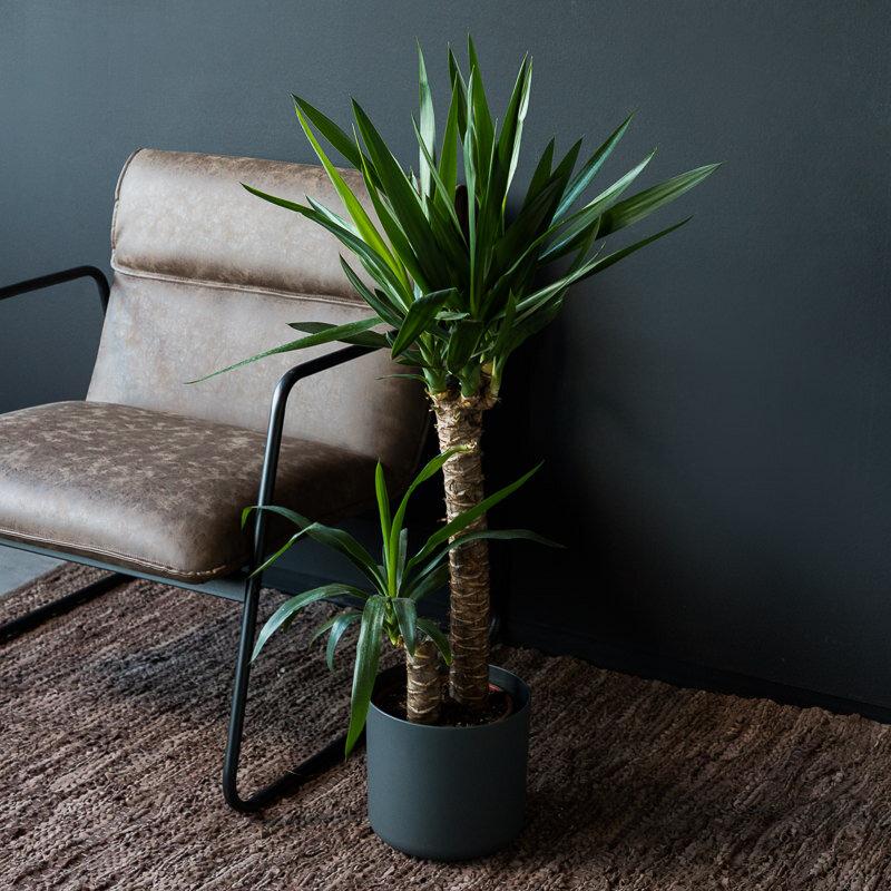 Yucca 'Elephantipes' 2-stammig 60 en 20 cm stam