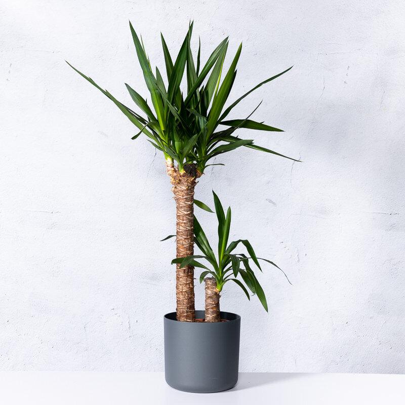 Yucca 'Elephantipes' 2-stammig