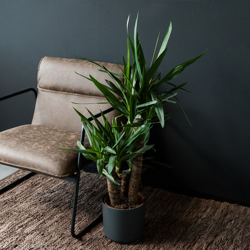 Yucca 'Elephantipes' 3-stammig 90, 45 en 20 cm stam