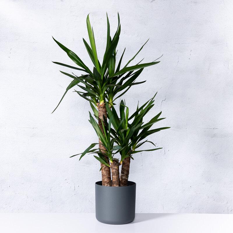 Yucca 'Elephantipes' 3-stammig