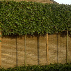 Lei moeraseik (Quercus palustris)