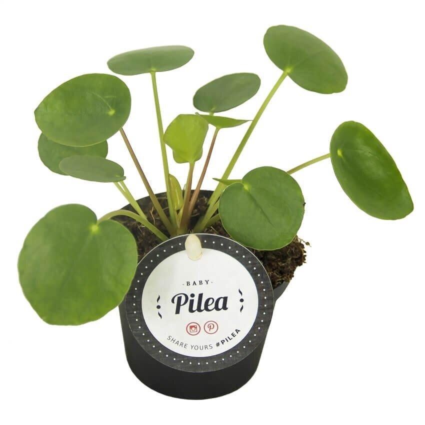 Pannenkoekplant (pilea peperomioides baby)