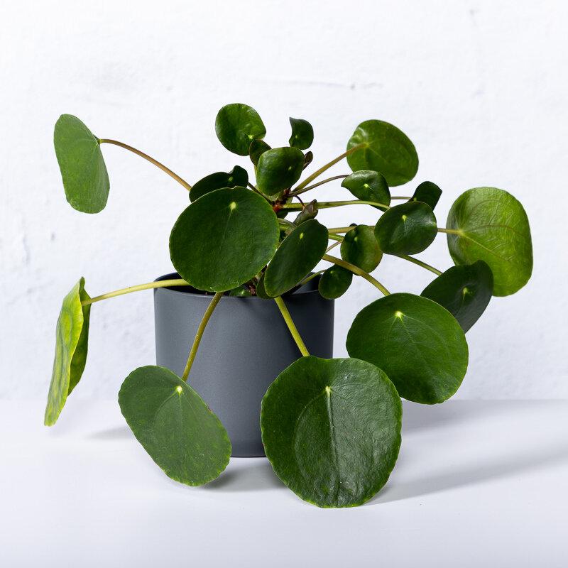 Pannenkoekplant (Pilea Peperomioides) sfeerfoto