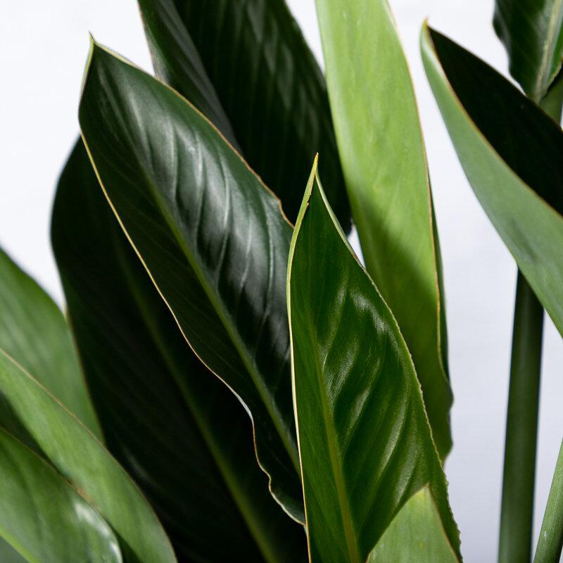 Strelitzia 'Reginae' bloem close-up