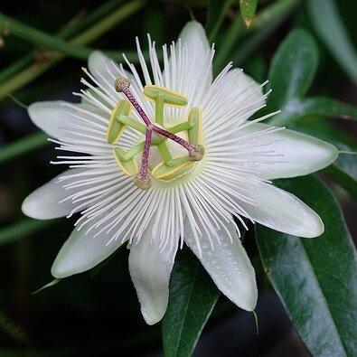 Passiflora caerulea 'Constance Elliot'