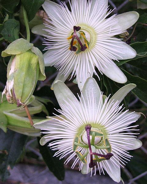 Passiflora wit