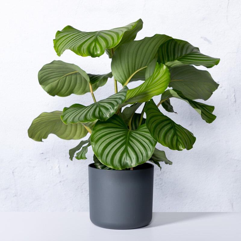 Calathea orbifolia (pauwenplant)
