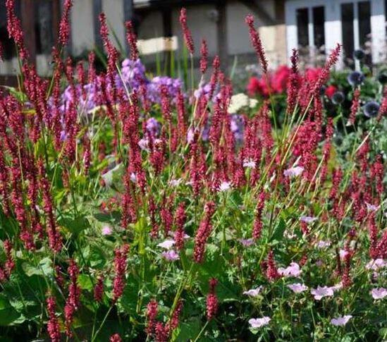 Persicaria amplexicaulis 'Taurus' (duizendknoop)