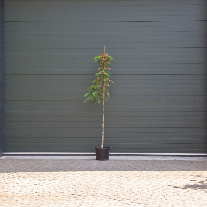 Perzische slaapboom meerstammig 175 - 200 cm