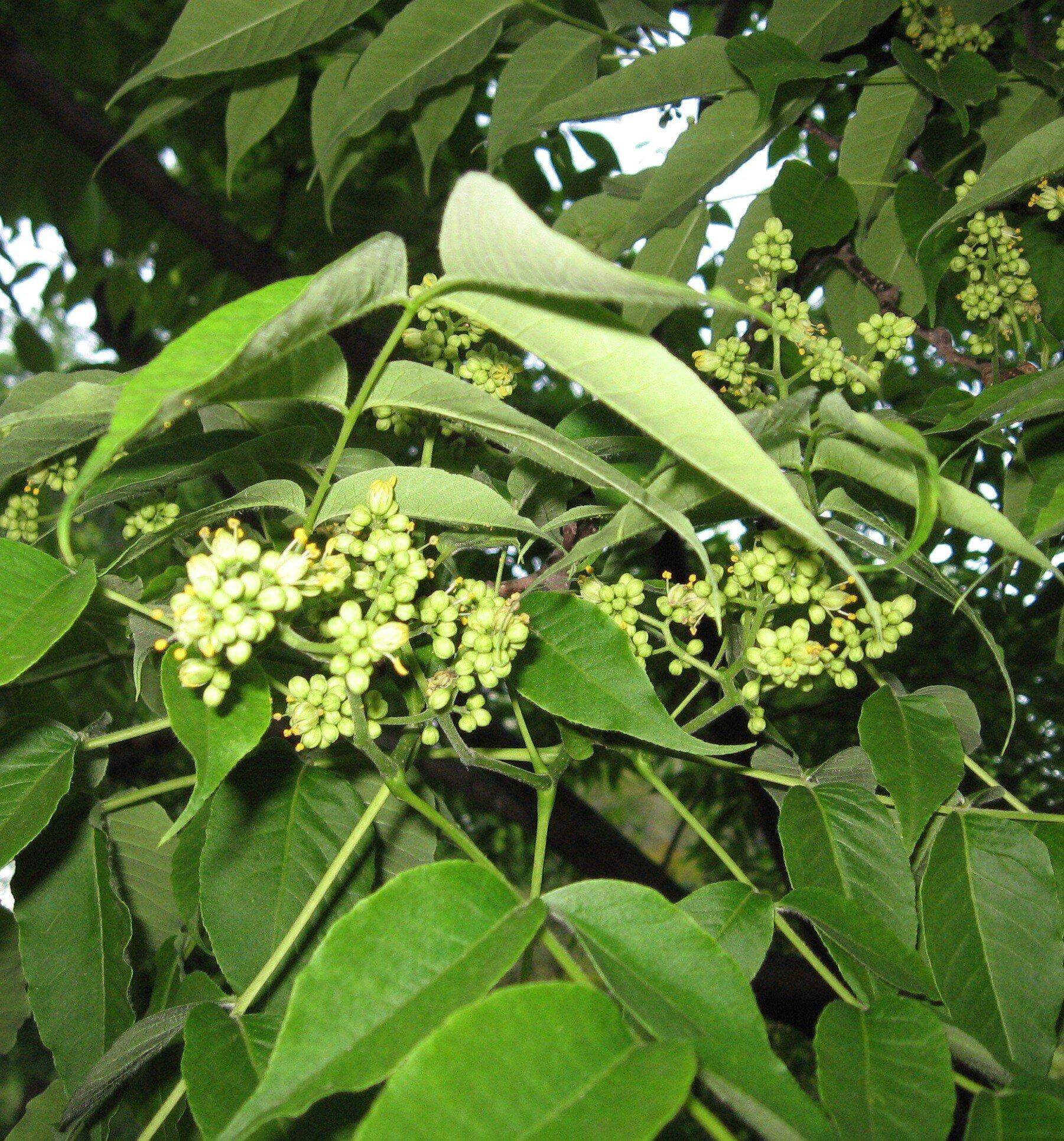 Phellodendron amurense blad