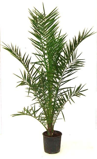 Phoenix 'Canariensis'
