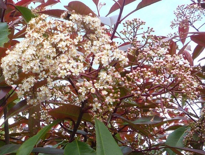 Photinia fraseri 'Little Red Robin' bloemen