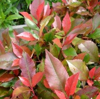 Photinia fraseri 'Little Red Robin'