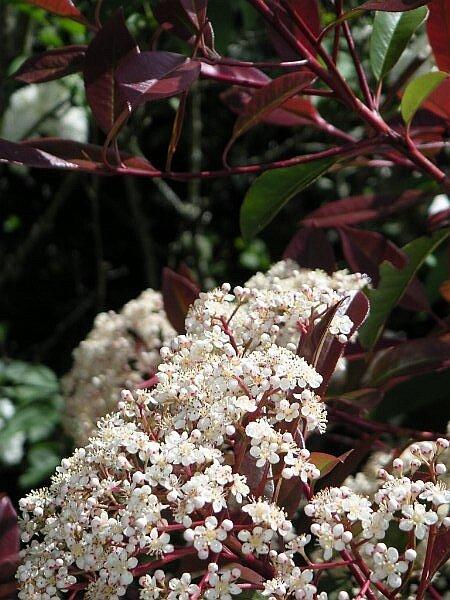 Photinia fraseri 'Red Robin' bloemen