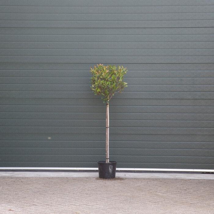 Glansmispel op stam 4 - 8 cm - 90 cm stamhoogte