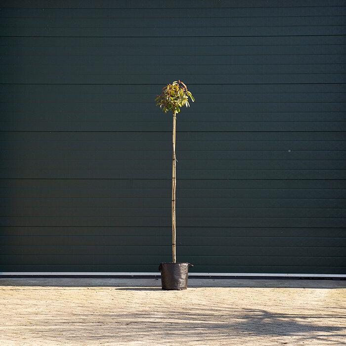 Glansmispel op stam 3 - 6 cm - 180 cm stamhoogte