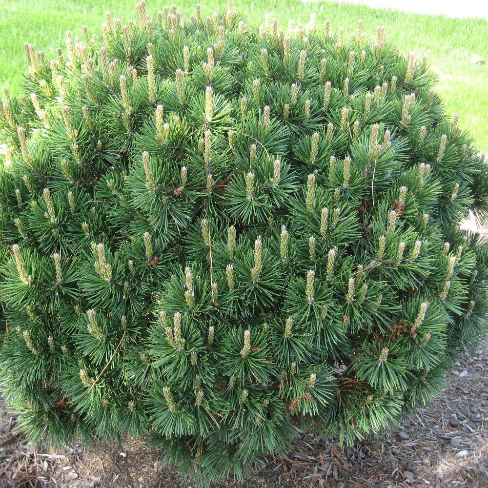 Pinus mugo 'Mugo'