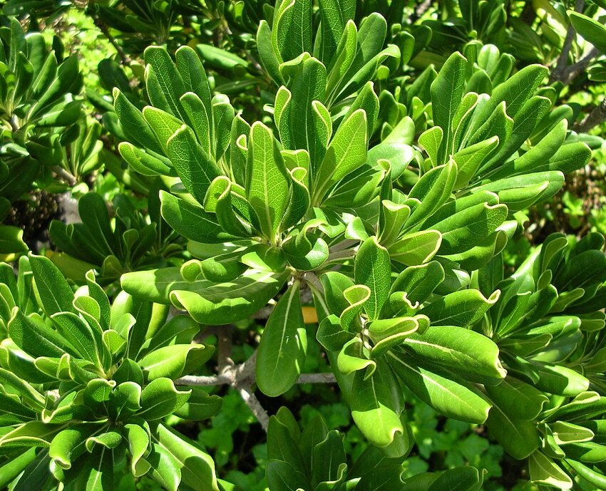Pittosporum tobira 'Nanum' blad