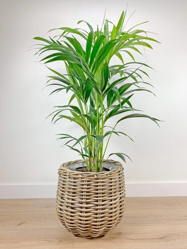 Plantenmand rond met kentia