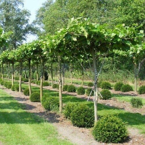 Platanus acerifolia dakboom