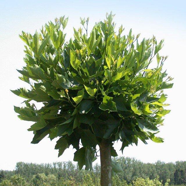 Platanus acerifolia 'Alphen's Globe'
